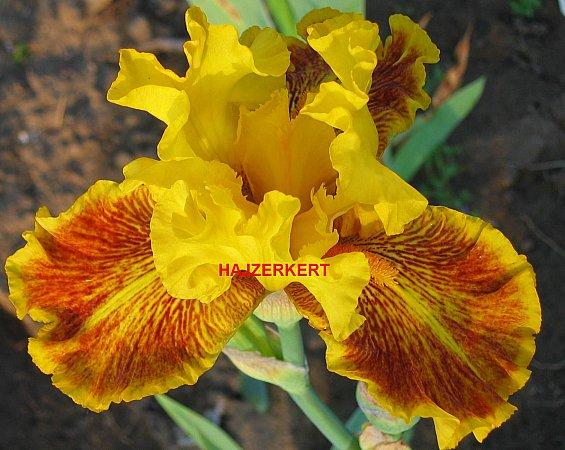 Iris Barbata Elatior 2